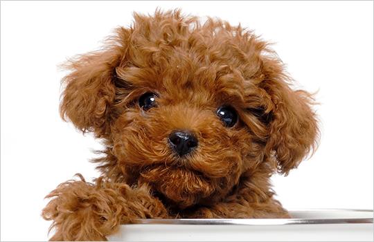 トイプードルのブリーダー子犬直販専門店|ペットノート